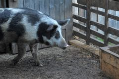 gray with a black pig, a mixture of wild boar, in a pen in the v Royalty Free Stock Image