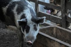 Gray with a black pig, a mixture of wild boar, in a pen in the v Royalty Free Stock Photo