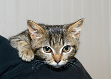 Gray and black striped tabby kitten clinging to the shoulder of person. Nervous and afraid feeling somewhat secure being held by a person stock photography
