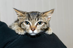 Gray and black striped tabby kitten clinging to the shoulder of person. Nervous and afraid feeling somewhat secure being held by a person royalty free stock photography