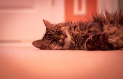 Tabby Cat laying in hallway. Gray and Black Tabby Cat laying in hallway all sprawled out royalty free stock image