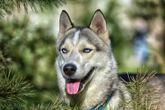Gray blue-eyed husky in the sun next to pine branches Royalty Free Stock Photo