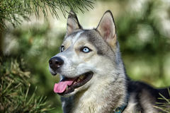Gray blue-eyed husky in the sun next to pine branches royalty free stock image