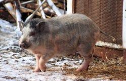Gray boar Royalty Free Stock Photos