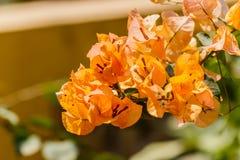 Gray bougainvillea bloom. Stock Photography