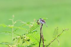 Grey-breasted Prinia and green  background royalty free stock image