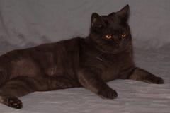 Gray brithish cat lies stock photo