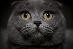 Gray british cat Stock Image