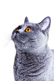Gray British cat Royalty Free Stock Photo