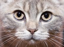 Gray british cat royalty free stock photography