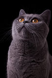Gray british cat with dark yellow eyes Stock Photos