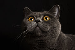 Gray british cat with dark yellow eyes Stock Photo