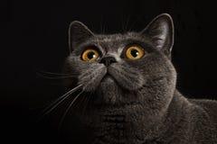 Gray british cat with dark yellow eyes Stock Photo