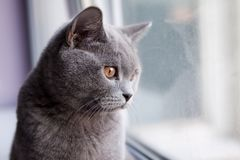Gray British cat look out the window royalty free stock photo