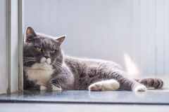 The gray British cat Royalty Free Stock Photography