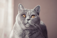 Gray british cat lying near the window close up Stock Image