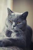 Gray british cat lying near the window Royalty Free Stock Photos