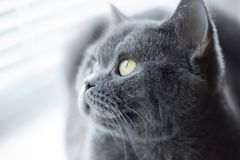 Gray british cat lying near the window. Cute kitten sitting on the window and looking on the winter Stock Images