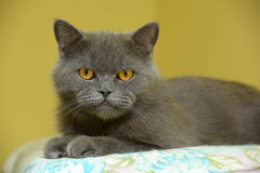 Gray British cat Royalty Free Stock Images