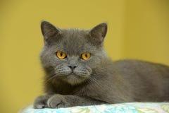 Gray British cat Stock Images