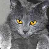 Gray British cat portrait Royalty Free Stock Photography
