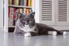 The gray British cat Stock Photography