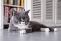 The gray British cat Royalty Free Stock Photos