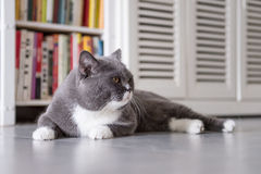 The gray British cat Royalty Free Stock Images