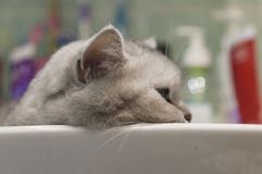 Cat in a sink Royalty Free Stock Photography
