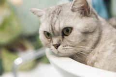 Cat in a sink Stock Photography