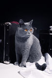 Gray British cat sitting near suitcase Royalty Free Stock Photography
