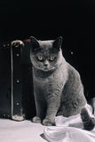 Gray British cat  sitting near suitcase Stock Images