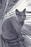 Gray British cat sitting in a silver umbrella Royalty Free Stock Image