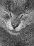 Gray British cat is sleeping Stock Photography