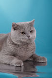 Gray british cat on a studio Royalty Free Stock Photo