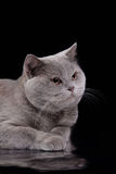 Gray british cat on a studio Royalty Free Stock Image