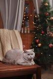 Gray british cat Stock Photo