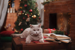 Gray british cat. On a studio background, Christmas and New Year Stock Photos
