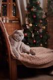 Gray british cat Stock Photos