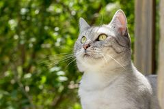 British gray cat on summer garden blurred background Royalty Free Stock Images
