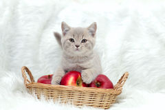 Gray British cat on a white background Stock Photography