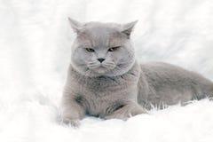 Gray British cat Stock Photography