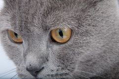 Gray british cat on the white. Background Stock Photos