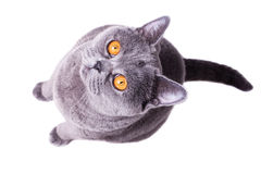 Gray British cat with yellow eyes Royalty Free Stock Photography