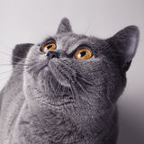 Gray British cat with yellow eyes Stock Image