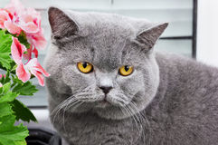 Gray british cat Stock Photos