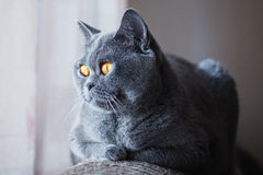 Gray British cat with yellow eyes lying near the window Stock Image