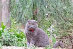 Gray British flott katt på en bakgrund av gröna växter Royaltyfri Fotografi