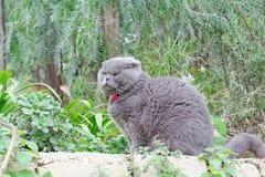 Gray British flott katt på en bakgrund av gröna växter Fotografering för Bildbyråer