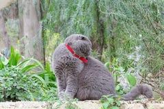 Gray British flott katt på en bakgrund av gröna växter Royaltyfri Foto